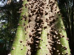 Tronc de kapokier. Source : http://data.abuledu.org/URI/5489faf9-tronc-de-kapokier