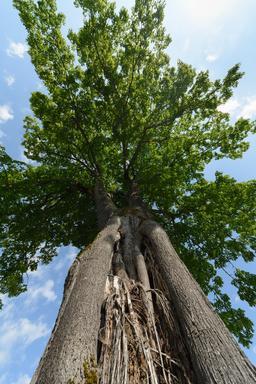 Tronc de tilleul à grandes feuilles. Source : http://data.abuledu.org/URI/5652d046-tronc-de-tilleul-a-grandes-feuilles