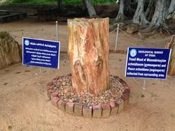 Tronc fossile en Inde. Source : http://data.abuledu.org/URI/551c5217-tronc-fossile-en-inde