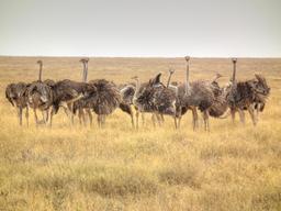 Troupe d'autruches femelles en Tanzanie. Source : http://data.abuledu.org/URI/5387a2e7-troupe-d-autruches-femelles-en-tanzanie