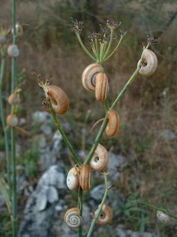 Troupe d'escargots à l'assaut d'une ombellifère. Source : http://data.abuledu.org/URI/50fa7b40-troupe-d-escargots-a-l-assaut-d-une-ombellifere