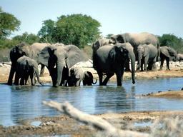 Troupeau d'éléphants. Source : http://data.abuledu.org/URI/501eb695-troupeau-d-elephants
