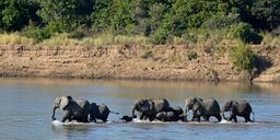 Troupeau d'éléphants traversant une rivière. Source : http://data.abuledu.org/URI/52d03c45-troupeau-d-elephants-traversant-une-riviere