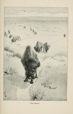 Troupeau de bisons. Source : http://data.abuledu.org/URI/587fbbb1-troupeau-de-bisons