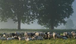 Troupeau de brebis et de moutons. Source : http://data.abuledu.org/URI/53aef89b-troupeau-de-brebis-et-de-moutons