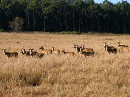 Troupeau de cerfs en Inde. Source : http://data.abuledu.org/URI/53aefa26-troupeau-de-cerfs-en-inde