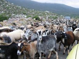 Troupeau de chèvres. Source : http://data.abuledu.org/URI/516fa07c-troupeau-de-chevres
