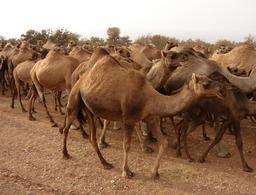 Troupeau de dromadaires. Source : http://data.abuledu.org/URI/53aef440-troupeau-de-dromadaires