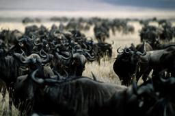 Troupeau de gnous en Tanzanie. Source : http://data.abuledu.org/URI/53aefb2f-troupeau-de-gnous-en-tanzanie