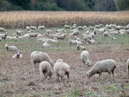 Troupeau de moutons. Source : http://data.abuledu.org/URI/501eb74a-troupeau-de-moutons