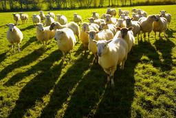 Troupeau de moutons. Source : http://data.abuledu.org/URI/567eb34d-troupeau-de-moutons
