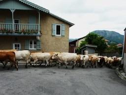Troupeau de vaches. Source : http://data.abuledu.org/URI/501eb972-troupeau-de-vache