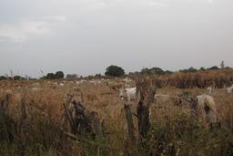 Troupeau de vaches en Casamance. Source : http://data.abuledu.org/URI/549353f1-troupeau-de-vaches-en-casamance