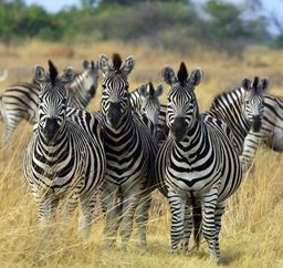 Troupeau de zèbres du Botswana. Source : http://data.abuledu.org/URI/53600f79-troupeau-de-zebres-du-botswana