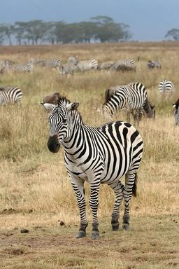 Troupeau de zèbres en Tanzanie. Source : http://data.abuledu.org/URI/536007b7-troupeau-de-zebres-en-tanzanie