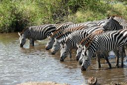 Troupeau de zèbres s'abreuvant. Source : http://data.abuledu.org/URI/58f3cc2d-troupeau-de-zebres-s-abreuvant