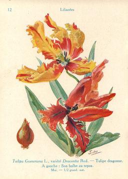 Tulipe dragonne. Source : http://data.abuledu.org/URI/53adc2a2-tulipe-dragonne