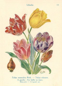 Tulipes odorantes. Source : http://data.abuledu.org/URI/53adc79f-tulipes-odorantes