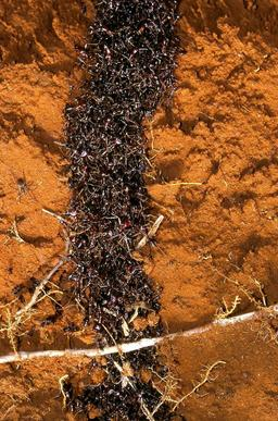 Tunnel de fourmis légionnaires. Source : http://data.abuledu.org/URI/534b8cea-tunnel-de-fourmis-legionnaires