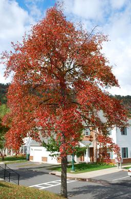 Tupelo noir en automne. Source : http://data.abuledu.org/URI/54735880-tupelo-noir-en-automne