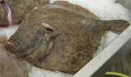 Turbot. Source : http://data.abuledu.org/URI/50b37119-turbot