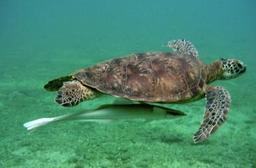 Tortue marine et poisson rémora. Source : http://data.abuledu.org/URI/5184d345-turtle-moheli-jpg