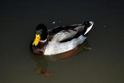 Un canard sur l'Avon. Source : http://data.abuledu.org/URI/585479d2-un-canard-sur-l-avon