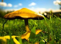 Un champignon. Source : http://data.abuledu.org/URI/47f38578-un-champignon