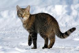 Un chat sur la neige. Source : http://data.abuledu.org/URI/5019a1ee-un-chat-sur-la-neige