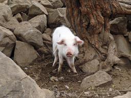 Un cochon. Source : http://data.abuledu.org/URI/5040706e-cochon