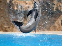Un dauphin. Source : http://data.abuledu.org/URI/501b12d9-un-dauphin
