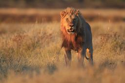Un lion dans la savane. Source : http://data.abuledu.org/URI/52ea7351-un-lion-dans-la-savane