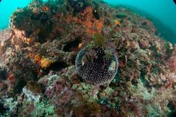 Un oursin granuleux. Source : http://data.abuledu.org/URI/51c0b808-un-oursin-granuleux