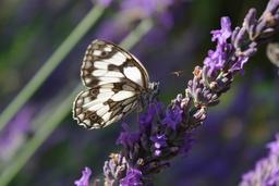 Un papillon. Source : http://data.abuledu.org/URI/47f27408-un-papillon