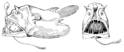 Un poisson abyssal, Linophryne lucifera. Source : http://data.abuledu.org/URI/5094f7df-un-poisson-abyssal-linophryne-lucifera