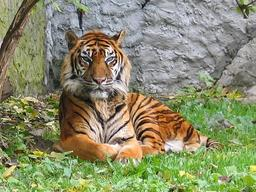 Un tigre de Sumatra. Source : http://data.abuledu.org/URI/50ee055e-un-tigre-de-sumatra
