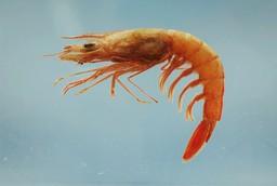 Une crevette de profil. Source : http://data.abuledu.org/URI/47f55b3d-une-crevette-de-profil