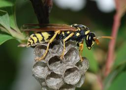 Une guêpe et sa colonie - 01. Source : http://data.abuledu.org/URI/541b4ce5-une-guepe-et-sa-colonie-01