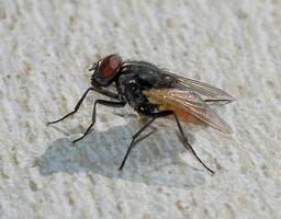 Une mouche. Source : http://data.abuledu.org/URI/501a3ab5-une-mouche
