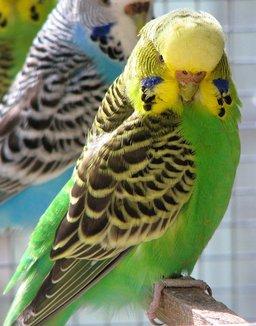 Une perruche. Source : http://data.abuledu.org/URI/501a34e9-une-perruche