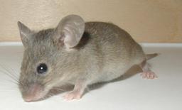 Une souris grise. Source : http://data.abuledu.org/URI/504505a6-une-souris-grise