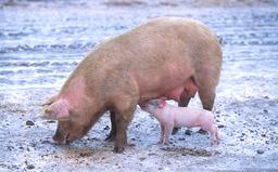 Une truie et son petit. Source : http://data.abuledu.org/URI/5030d45b-une-truie-et-son-petit