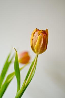 Une tulipe. Source : http://data.abuledu.org/URI/501986af-une-tulipe
