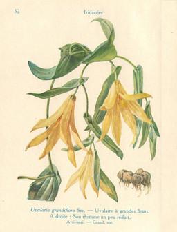 Uvulaire à grandes fleurs. Source : http://data.abuledu.org/URI/53adc844-uvulaire-a-grandes-fleurs