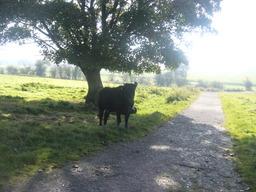 Vache à l'ombre d'un arbre. Source : http://data.abuledu.org/URI/50301e83-vache-a-l-ombre-d-un-arbre