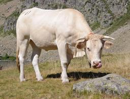Vache Blonde Aquitaine. Source : http://data.abuledu.org/URI/5365635c-vache-blonde-aquitaine