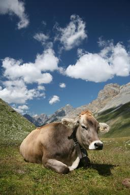 Vache Brune des Alpes. Source : http://data.abuledu.org/URI/5364ef1c-vache-brune-des-alpes