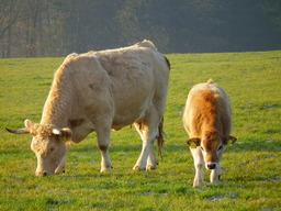 Vache et son veau. Source : http://data.abuledu.org/URI/50301a80-vache-et-son-veau