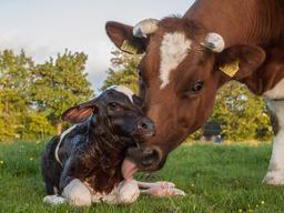 Vache et veau nouveau-né. Source : http://data.abuledu.org/URI/556c2dc7-vache-et-veau-nouveau-ne