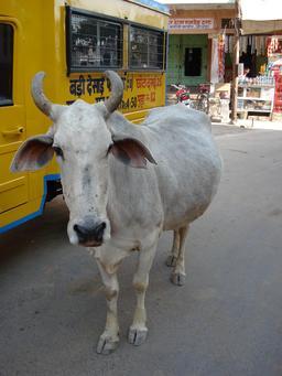 Vache sacrée en Inde. Source : http://data.abuledu.org/URI/50301b0f-vache-sacree-en-inde